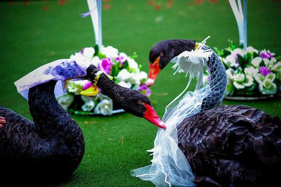 两只黑天鹅喜结连理(图源网络)-宝峰湖,你还能做什么图片