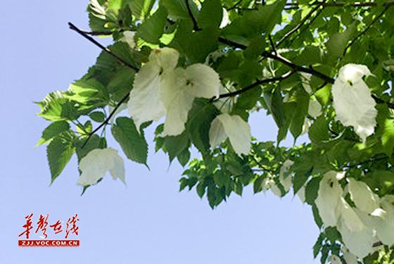 华声在线4月19日讯(通讯员 李维 田川)谷雨时节,张家界核心景区武陵源鸽子花竞相开放,微风吹过,散发的阵阵清香沁人心脾。鸽子花树,又名珙桐,为落叶乔木,胸径一般为50厘米,高十五米至三十米,是我国一级保护植物,世界十大观赏名树之一,因其花序圆似鸟头,苞片洁白硕大如翅,宛如展翅欲飞的白鸽,所以又名鸽子花,象征圣洁,寓意和平。据了解,张家界鸽子花最佳观赏期在4月下旬至5月中旬之间。